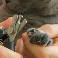 Male,Veterinarian,Holding,Cat,Paw,And,Trimming,Claws,With,Clippers.